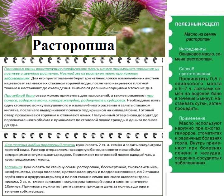 Расторопша: лечебные свойства и противопоказания, применение расторопши для печени