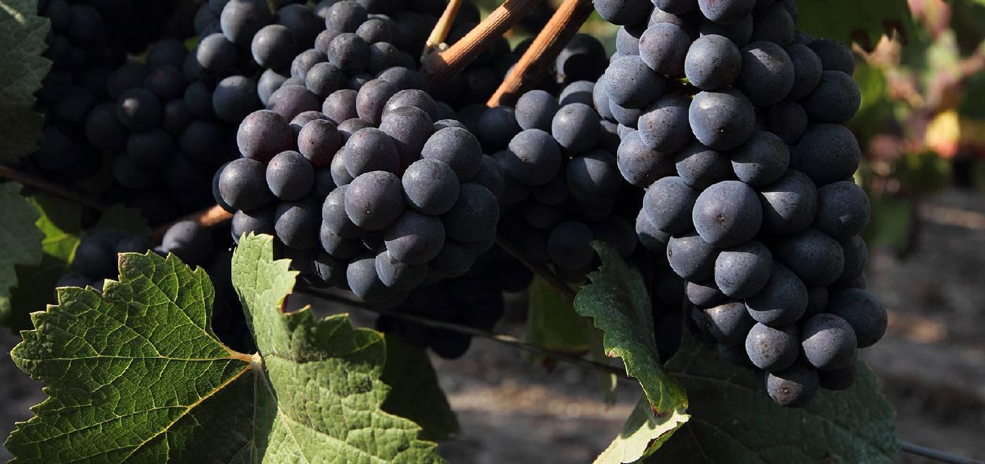 Пино нуар: описание вина из бургундии, разновидности сладкого напитка, сорт винограда и особенности его выращивания