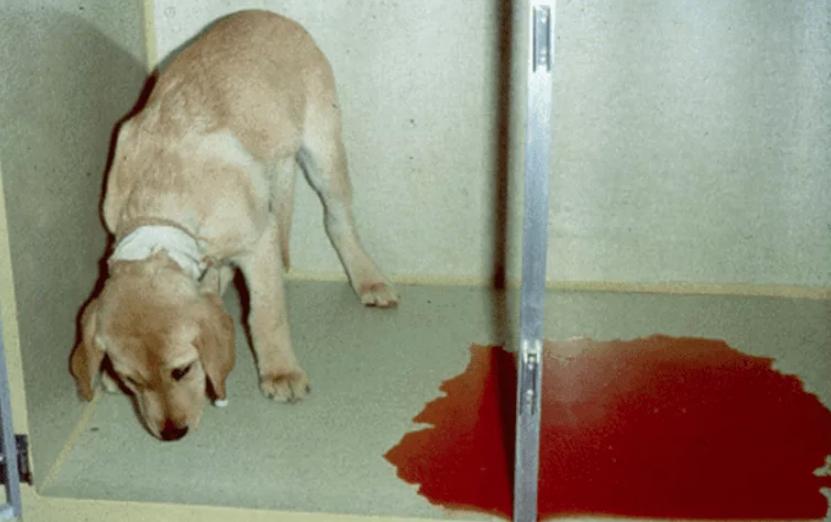 Собака умерла от желудочного кровотечения почему. почему у собаки кровоточат десны? появление крови в моче