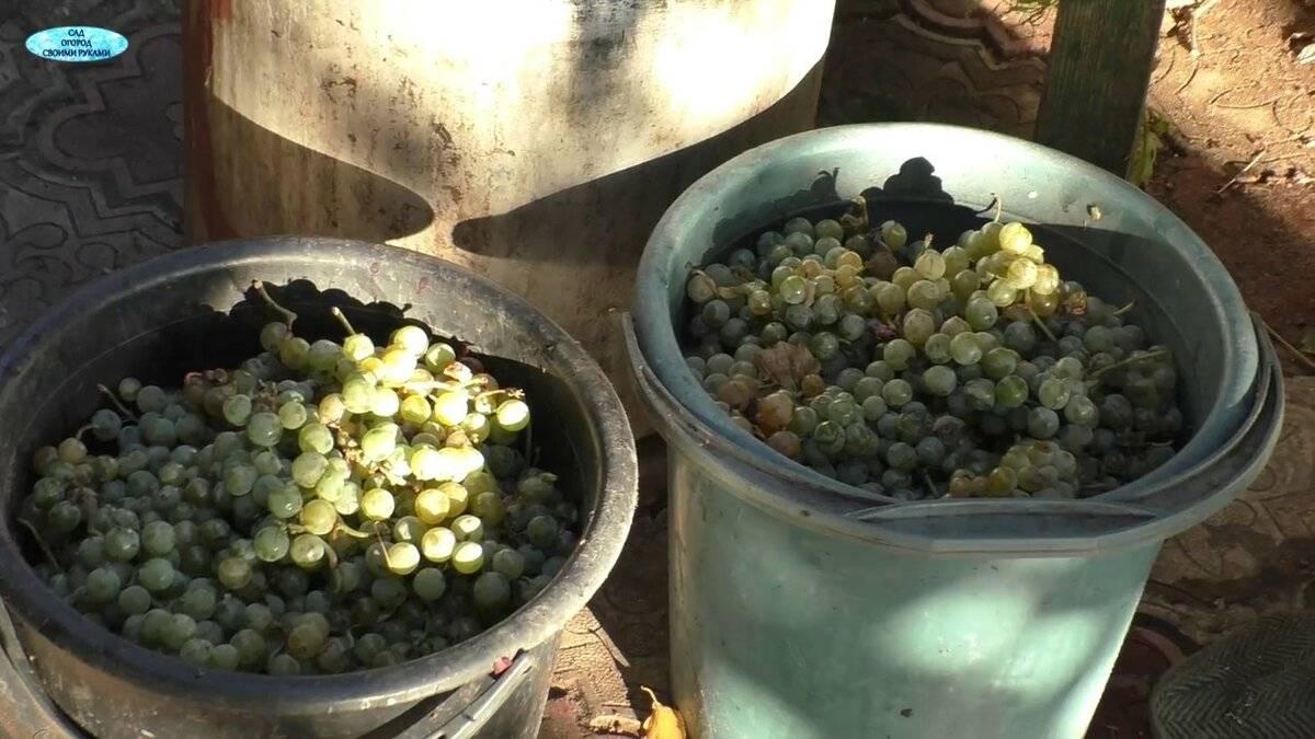 Как сделать полусладкое вино из винограда кишмиш