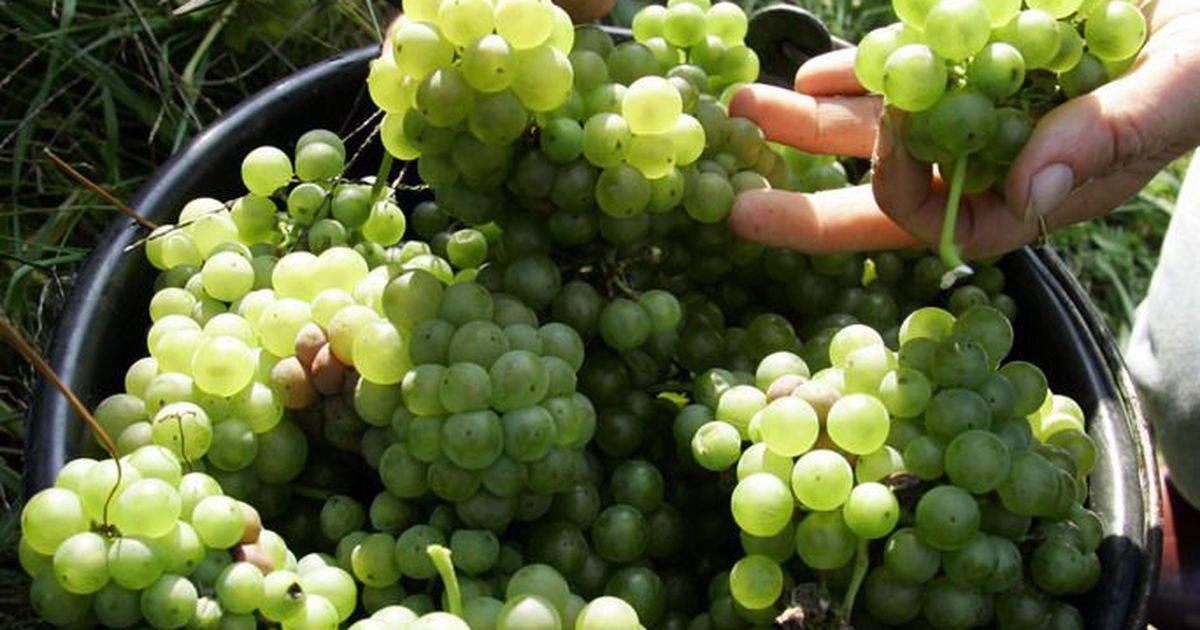 Греческий красный — сорт винограда