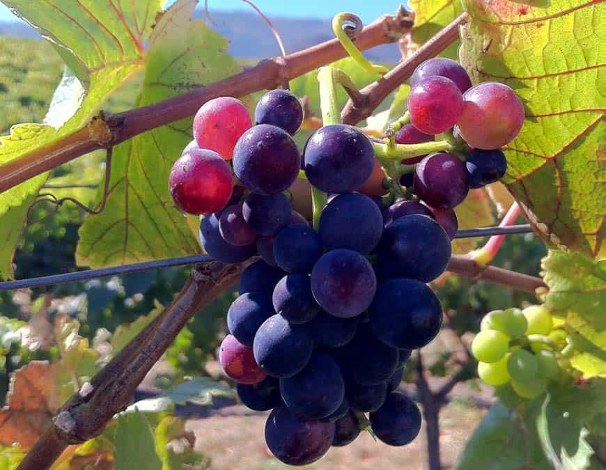 Вино «пино нуар (pinot noir)» – особенности употребления
