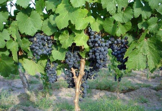 Чем полезны листья винограда изабелла. виноград изабелла и лидия – реальная польза и надуманный вред