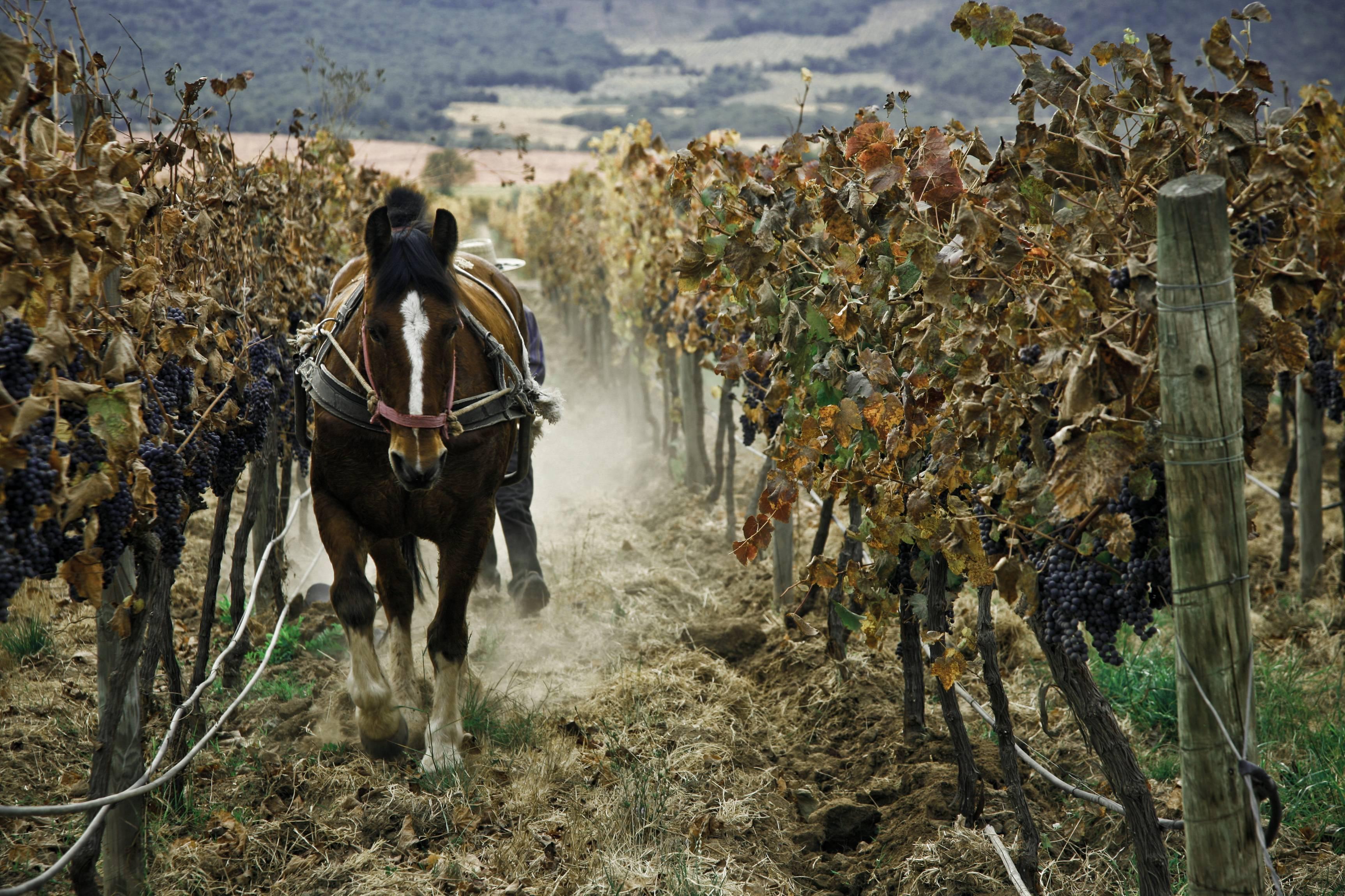 Биодинамика в виноградарстве и виноделии