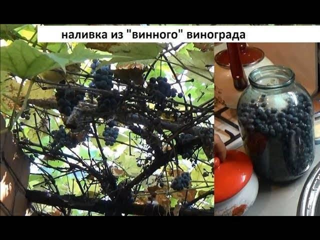 Пьяный виноград. самодельные виноградные настойки в домашних условиях. настойка из гребешков винограда