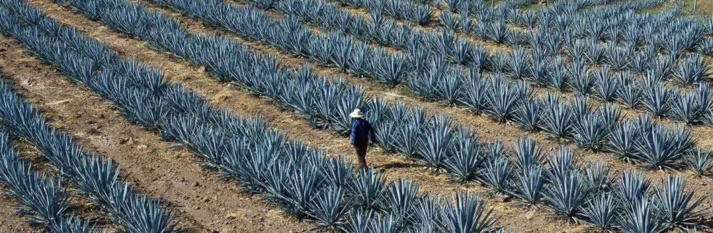 Как из самогона сделать текилу? особенности производства мексиканского напитка