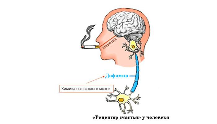 Никотин улучшает память и помогает восстанавливаться клеткам головного мозга