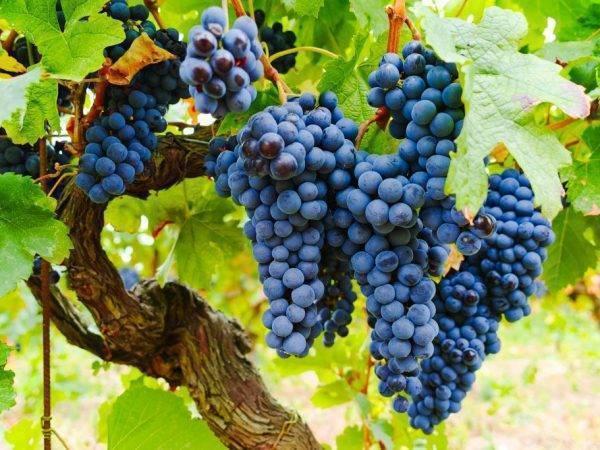 Виноград изабелла белая описание. виноград изабелла: всё о выращивании сорта, рекомендации по уходу за культурой