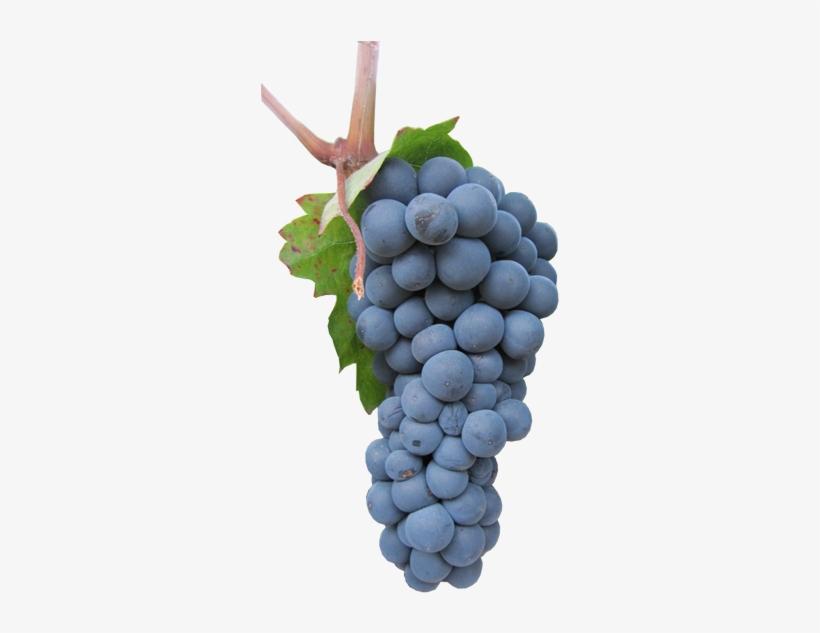 Виноград — история, описание, особенности ухода, сорта и болезни + 80 фото