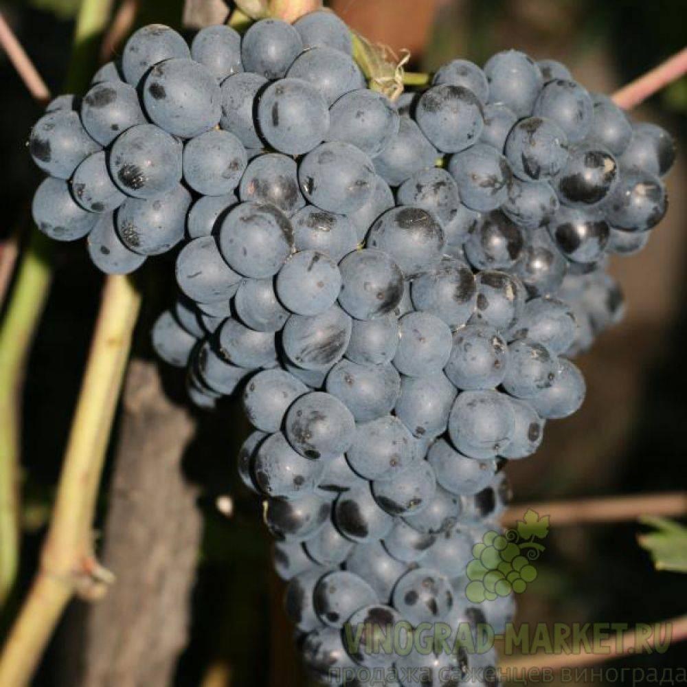Ркацители вино: обзор напитка, как пить, производители