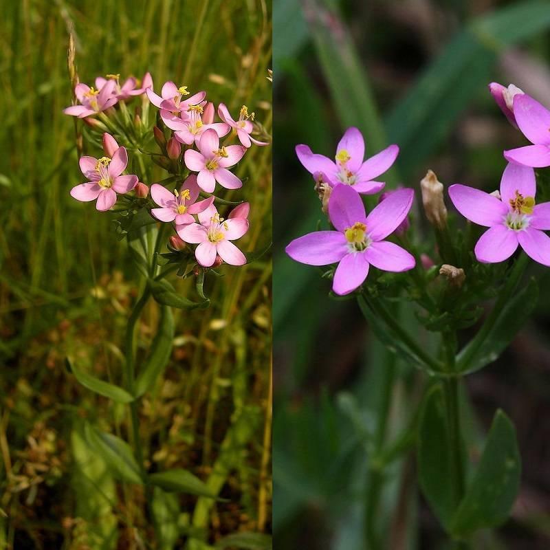 Трава золототысячник: лечебные свойства и противопоказания, где растет, применение