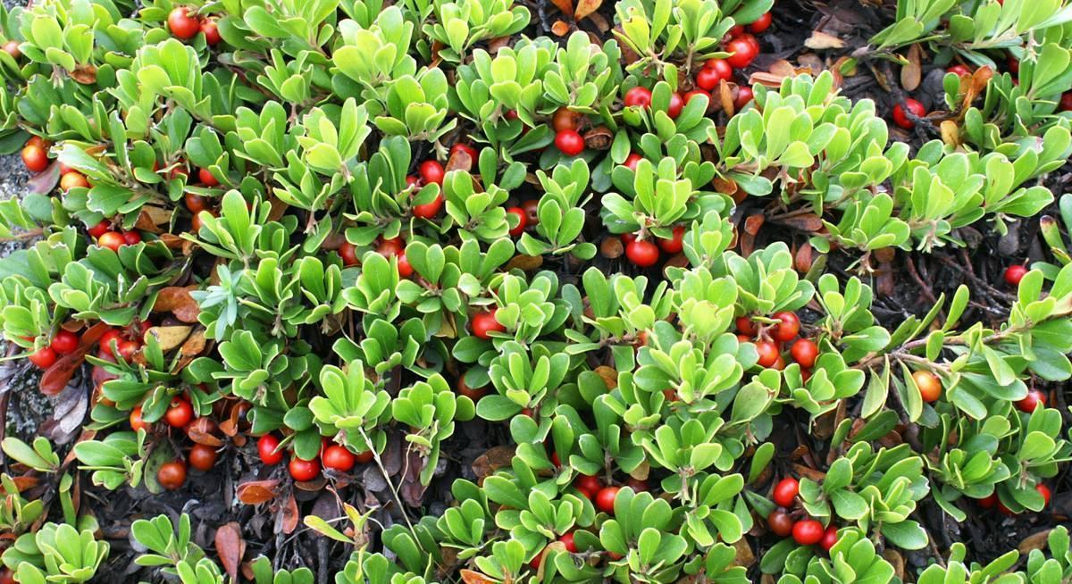 Травы для почек: профилактика и лечение