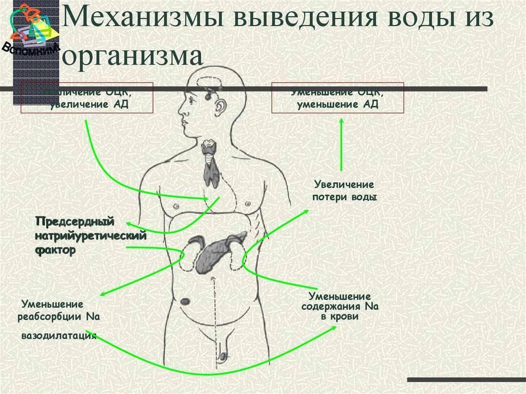 Как вывести лишнюю жидкость из организма. диета и народные средства | wmj.ru