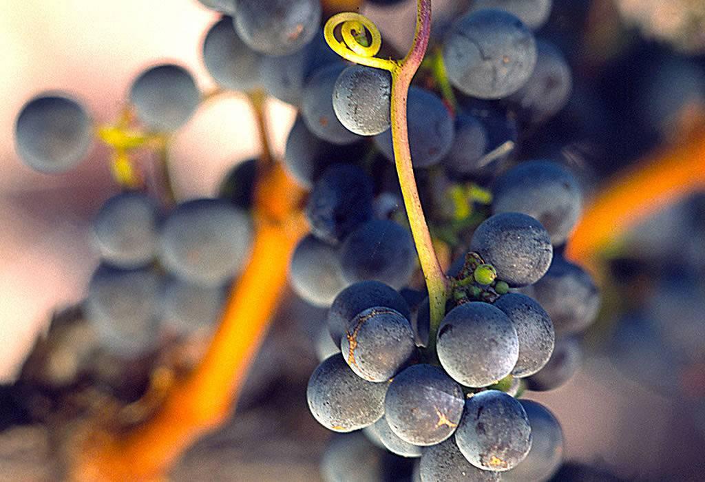 Главные сорта винограда испанской наварры