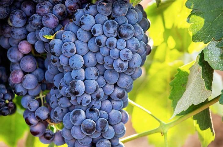 От вина болит голова и почему после красного вина болит