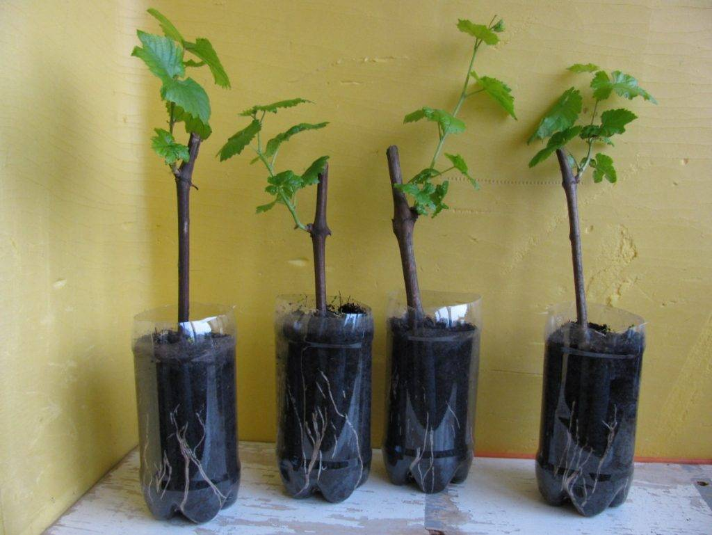 Выращивание винограда: место и сроки посадки, нюансы ухода, прививки, обрезка, удобрение и обработка от вредителей и болезней