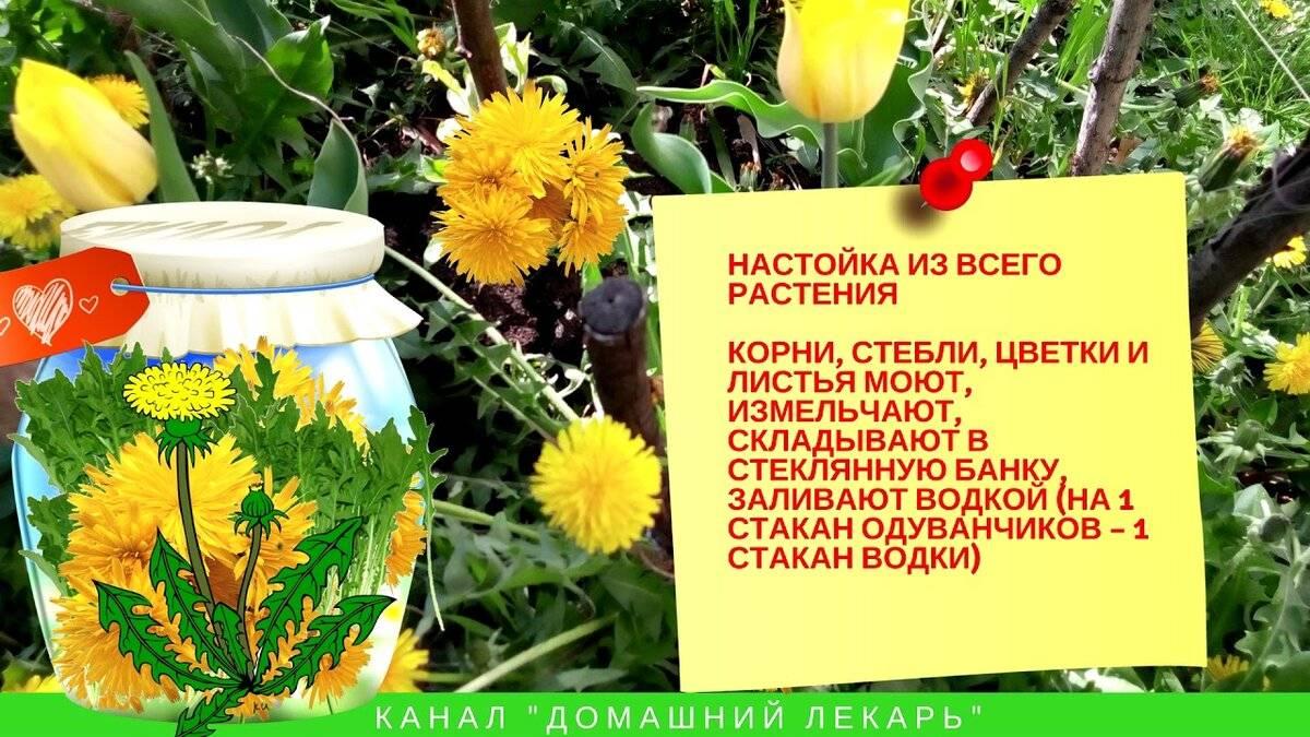 Цветы одуванчика на водке — от чего помогает настойка, применение