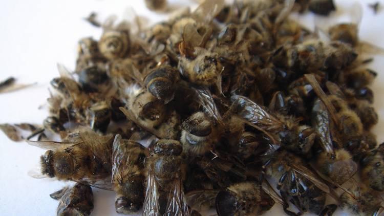 Пчелиный подмор: польза, вред, применение, рецепты