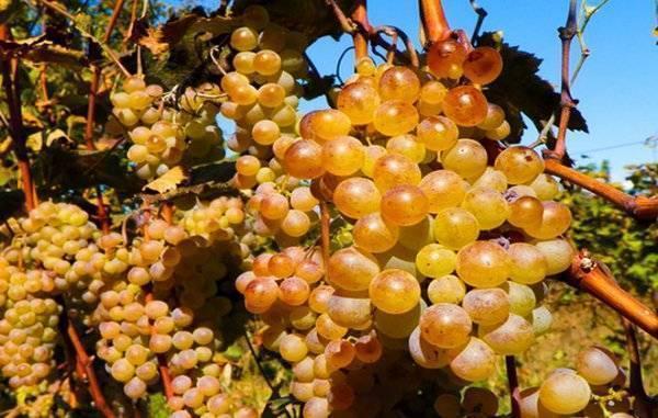 Ркацители - белое сухое вино из грузии: цены, изготовление