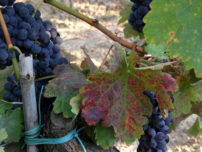Вино темпранильо и его особенности