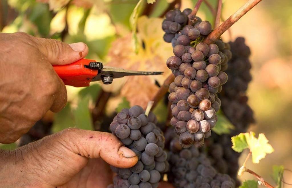 Пиросмани вино: история коротко и обзор напитка