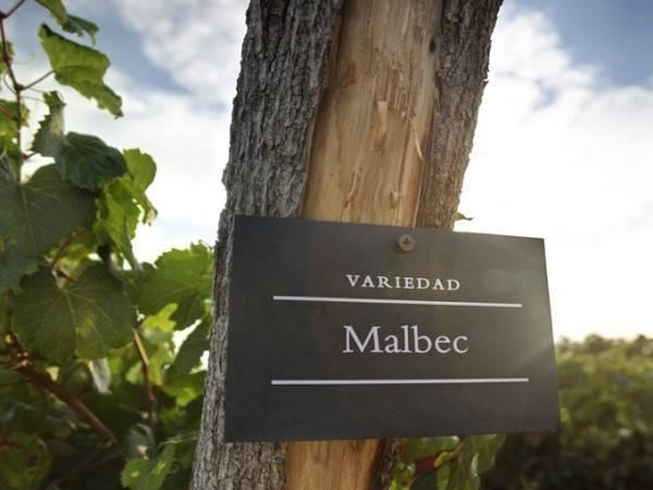 Виноград «мальбек»: характеристика и описание сорта, достоинства и недостатки, применение в виноделии, фото