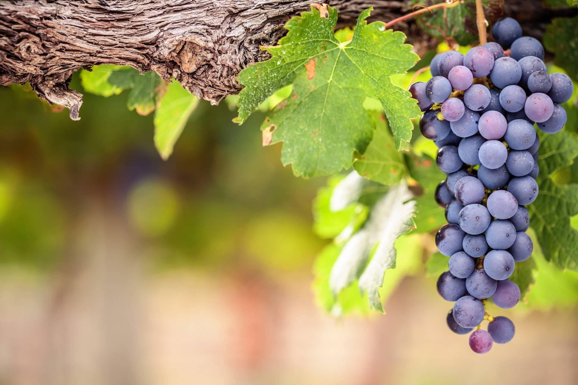 Лучшие грузинские вина: какие марки выбрать - рейтинг наиболее известных в грузии