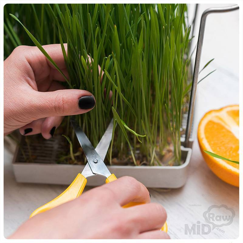 Как правильно прорастить пшеницу в домашних условиях: для еды?, для лечения, как выбрать семена