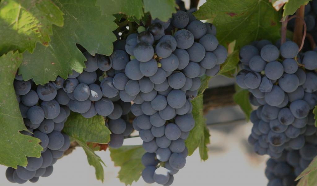 Виноград изабелла: описание сорта, посадка и уход в саду, польза для организма человека - rus-womens
