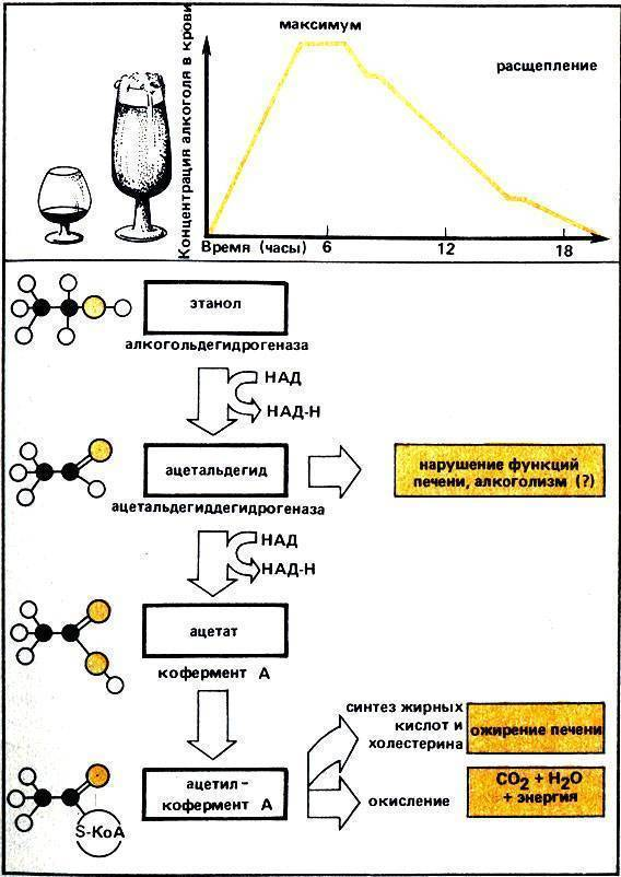 Расщепление алкоголя в организме человека: принцип действия, отзывы врачей