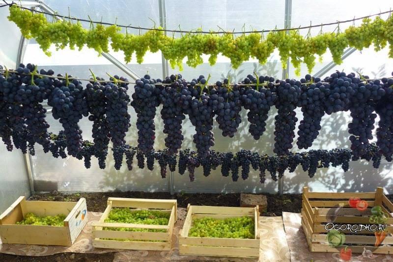 Что посадить под виноградом можно, а что нельзя | в саду (огород.ru)