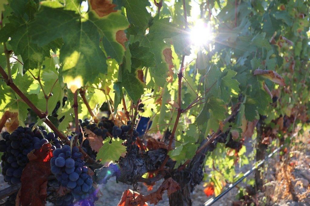 Сорта винограда для вина, из каких сортов производится белое и красное вино?
