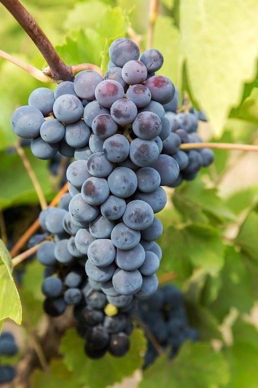 Получаем винные дрожжи в домашних условиях