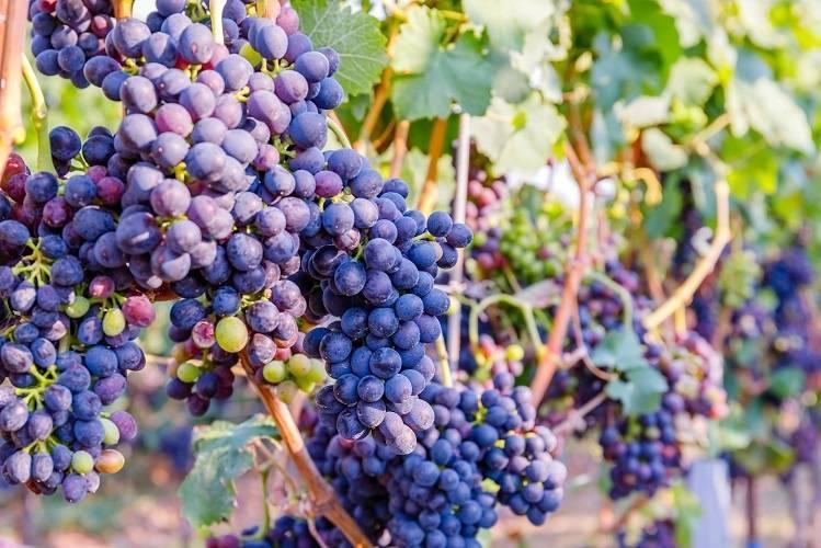 """Знаменитое вино """"шираз"""": отзывы"""