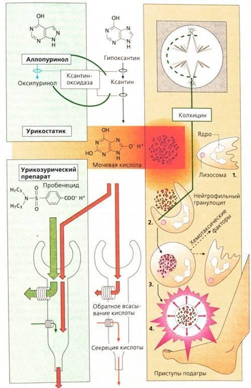 Препарат колхицин — эффективное средство при подагре
