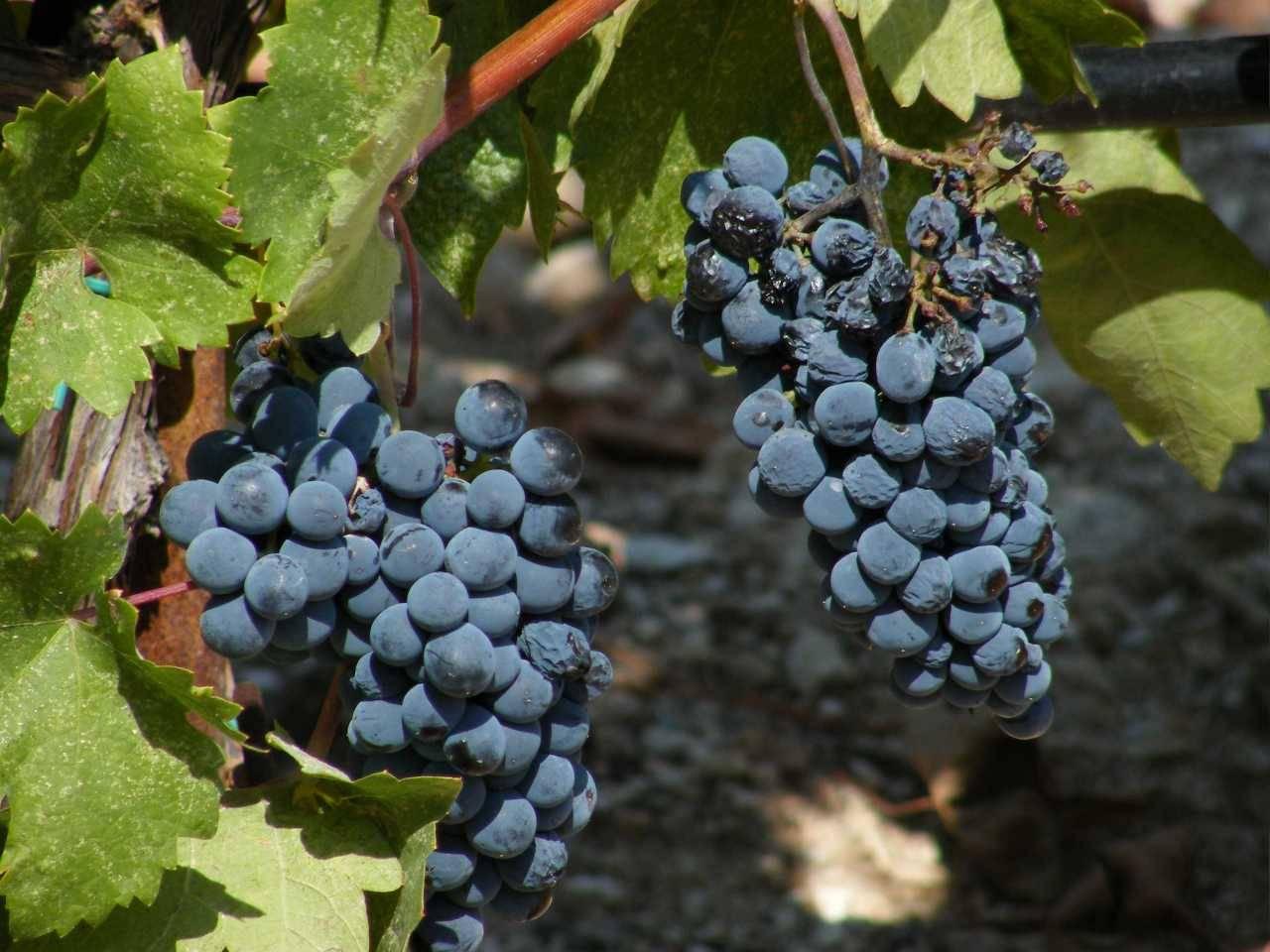 Топ-7 лучших укрывных сортов винограда для средней полосы россии | в саду (огород.ru)