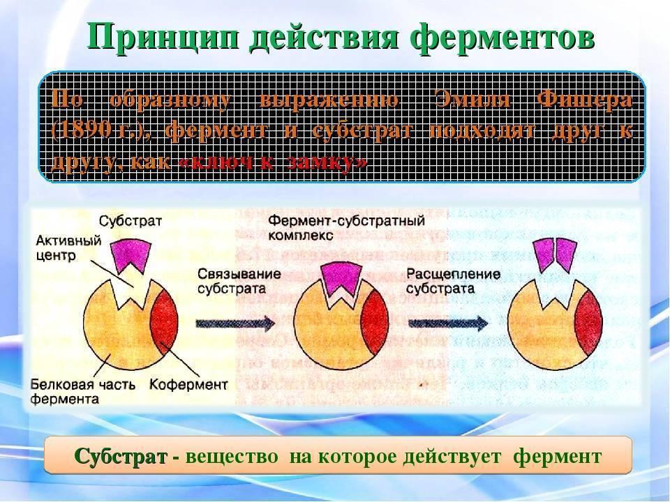 Расщепление алкоголя в организме человека