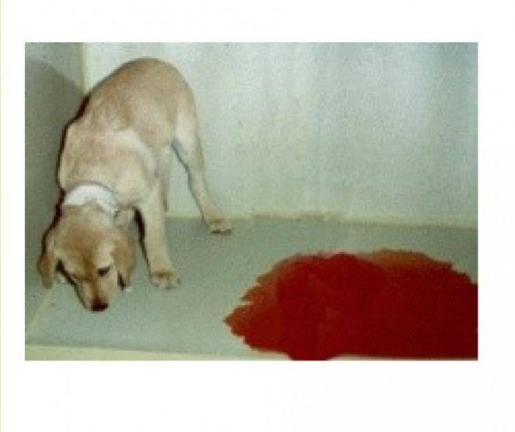 Рвота с кровью у собаки