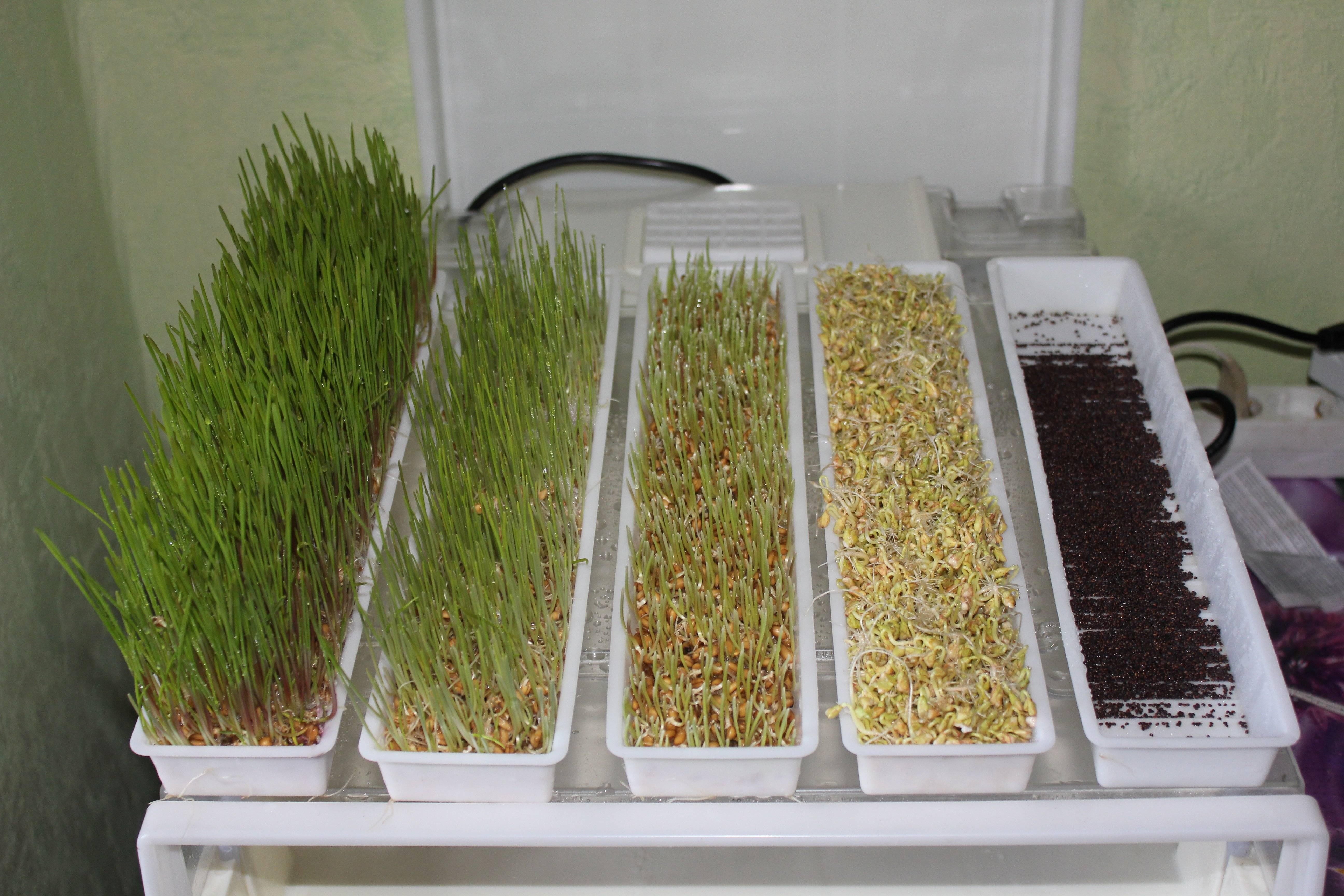 Как прорастить пшеницу для еды правильно в домашних условиях