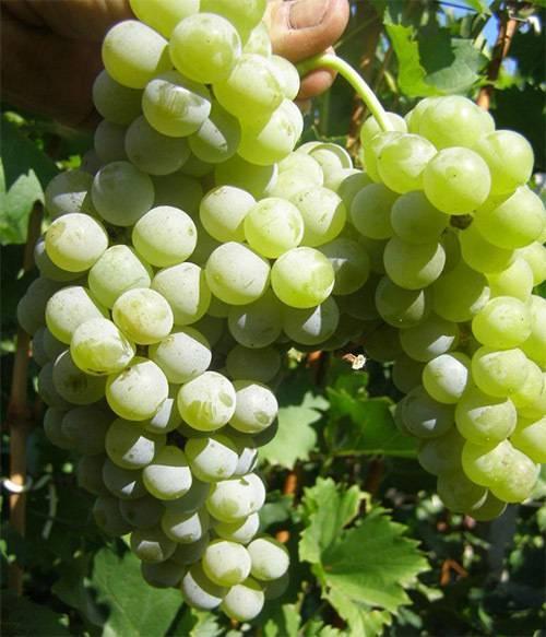 Основные сорта винограда для виноделия