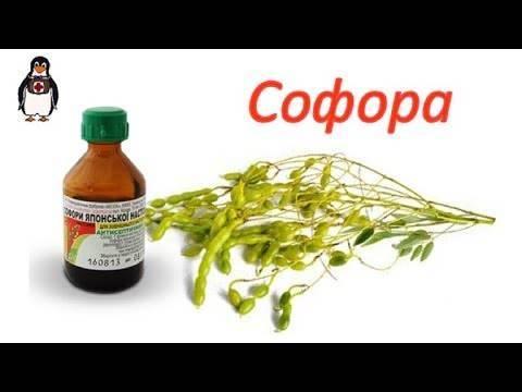 Софора японская— полезные свойства, применение внародной медицине, противопоказания