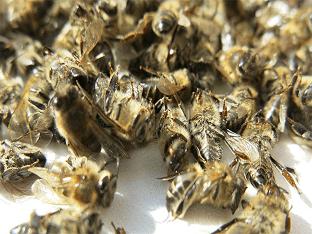 Настойка пчелиного подмора на водке: польза и применение