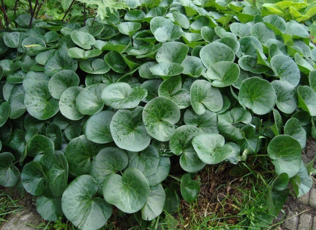 Лечебные свойства травы копытень и противопоказания