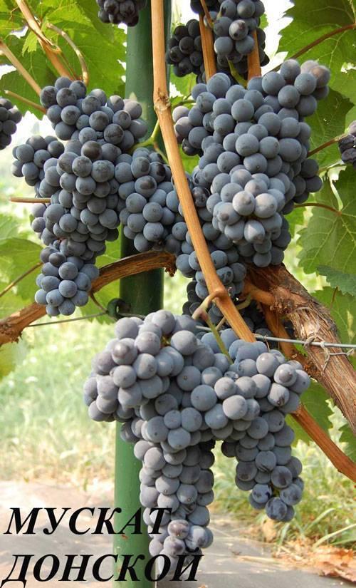 Виноград: зимостойкие сорта для виноделия