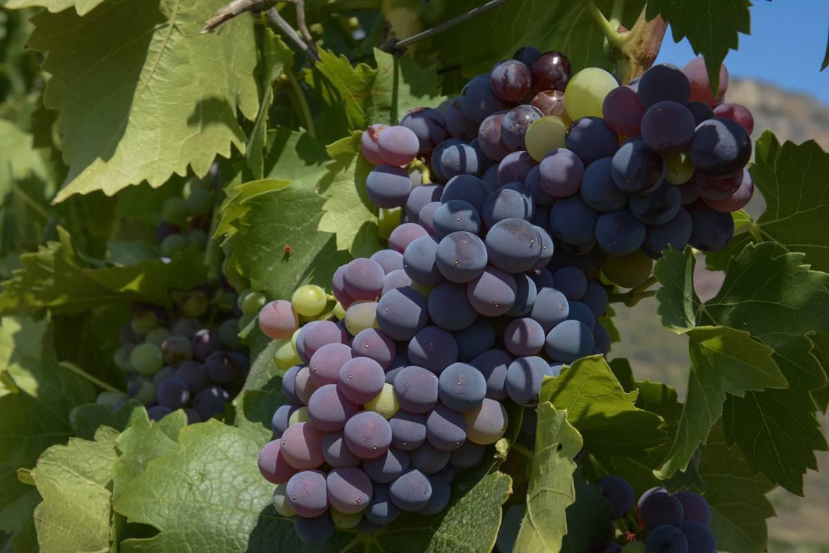 Сорта винограда на д, е, ж