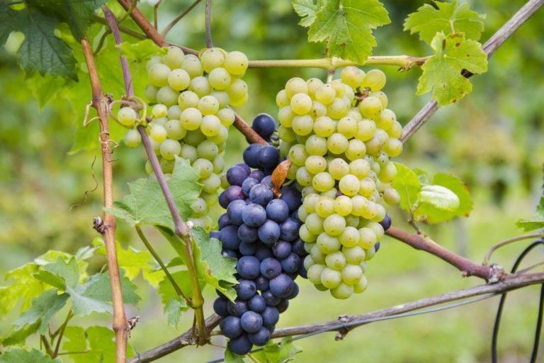 Какие винные сорта винограда лучше выбрать   в саду (огород.ru)
