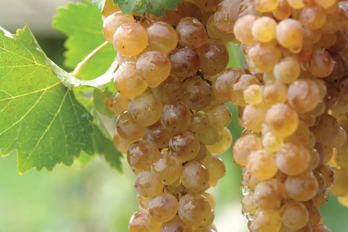 Выращивание технического винограда. особенности агротехники