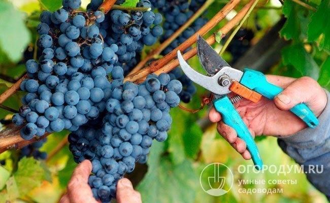 Виноград изабелла - характеристика, описание сорта, выращивание и правила обработки (100 фото)