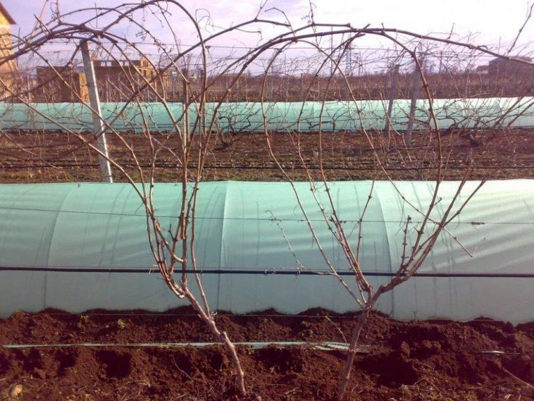 Сорт винограда изабелла: описание, история, свойства