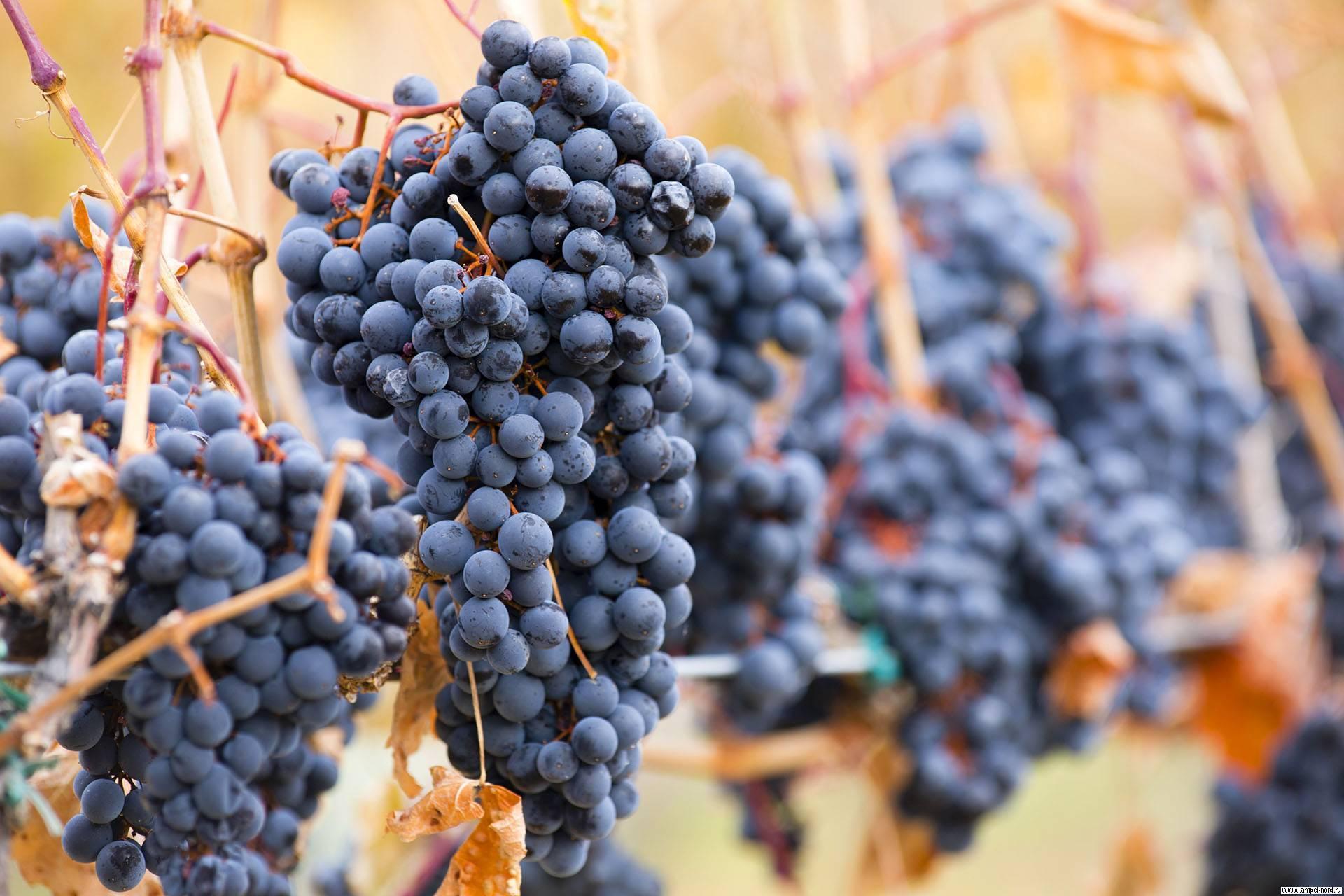 Классификация популярных винных сортов винограда